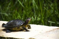 Schildkröte, welche die Sonne genießt Stockbilder