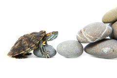Schildkröte, welche oben die Schritte klettert Stockbild