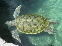 Schildkröte Xcaret Mexiko Stockfotografie