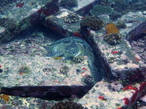 Schildkröte zwischen Granitblöcken im Ozean Lizenzfreies Stockfoto