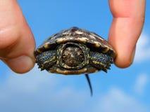 Schildkrötejunges Lizenzfreie Stockfotografie