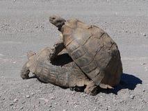 Schildkröteleistung Lizenzfreie Stockfotografie
