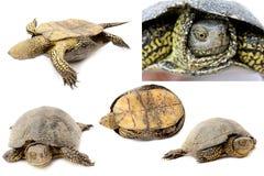 Schildkröten Stockfoto