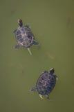schildkröten Lizenzfreie Stockbilder