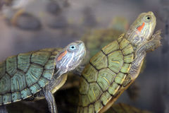 Schildkröten Stockbild