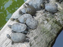 schildkröten Lizenzfreies Stockfoto