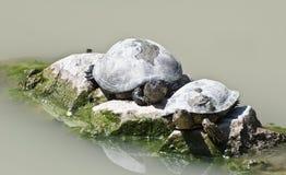 Schildkröten aalen sich in der Sonne durch das Wasser Stockbild
