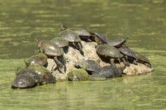 Schildkröten auf einem Felsen Lizenzfreie Stockfotografie