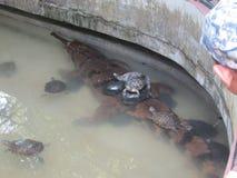 Schildkröten auf einem Krokodil stockfotos