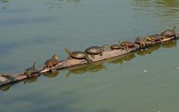 Schildkröten auf einem Protokoll lizenzfreies stockbild
