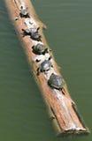 Schildkröten auf einem Protokoll stockfoto