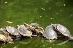 Schildkröten auf einer Niederlassung Lizenzfreies Stockfoto
