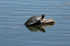 Schildkröten auf Protokoll Stockbild