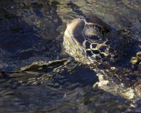 Schildkröten-Auge Stockfotografie