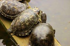 Schildkröten bohren auf dem Brett im Teich Stockfotos