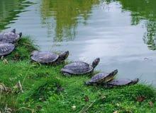 Schildkröten, die auf dem Ufer des Teichs Mont Saint-Michel, Frankreich stillstehen stockbilder