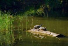 Schildkröten, die auf einem Klotz sich aalen Lizenzfreie Stockfotografie
