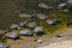 Schildkröten, die auf einem Klotz sich sonnen Stockbild