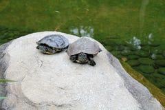 Schildkröten, die auf einem Stein sich aalen Lizenzfreie Stockfotografie