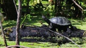 Schildkröten, die auf einer Anmeldung den Fluss sitzen stock footage