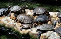 Schildkröten, die auf Felsen stillstehen stockbild