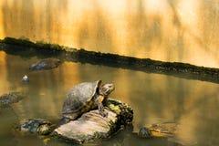 Schildkröten, die in dem Teich sich sonnen Stockfoto