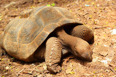 Schildkröten, die in die Natur kriechen stockfoto