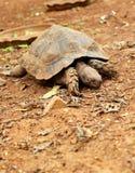 Schildkröten, die in die Natur kriechen lizenzfreies stockbild