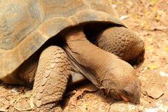 Schildkröten, die in die Natur kriechen stockbild