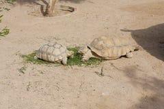 Schildkröten, die Foto sonnen Stockfoto