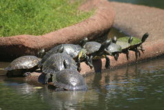 Schildkröten, die gerade heraus hängen Lizenzfreies Stockfoto