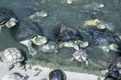Schildkröten in einem Teich Stockfotografie