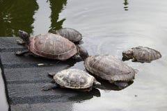 Schildkröten in einem Teich auf einer Rampe und im Wasser in einem Kaktusgewächshaus Lizenzfreie Stockbilder