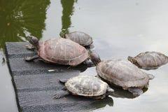 Schildkröten in einem Teich auf einer Rampe und im Wasser in einem Kaktusgewächshaus Lizenzfreie Stockfotos