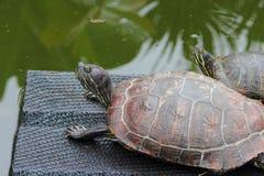 Schildkröten in einem Teich auf einer Rampe und im Wasser in einem Kaktusgewächshaus Stockfotos