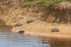 Schildkröten-Fluss-gelbe Jacken lizenzfreie stockbilder