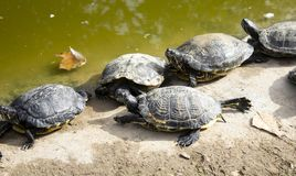Schildkröten im See stockfotografie