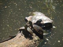 Schildkröten im See Stockbilder