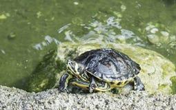 Schildkröten im Teich Stockfotografie