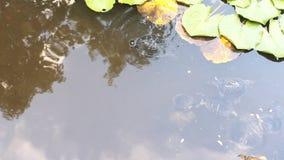 Schildkröten im Teich stock video