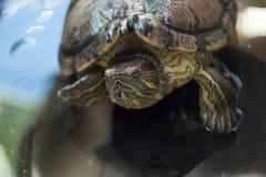 Schildkröten im Teich Stockfoto