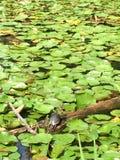 Schildkröten-Leben Stockfotografie