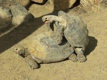 Schildkröten-Liebe San Diego Zoo Southern Leopard Tortoises lizenzfreie stockfotografie