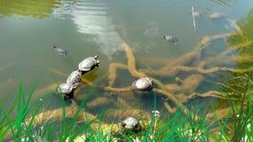Schildkröten nehmen ein Sonnenbad Lizenzfreies Stockbild