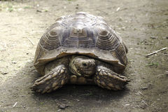 Schildkröten-Porträt Lizenzfreies Stockfoto