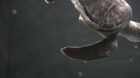Schildkröten, Schildkröten, Reptilien, Tiere, wild lebende Tiere stock video