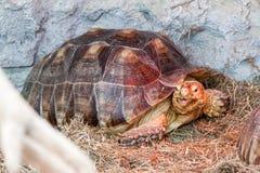 Schildkröten schleichen sich das Heu ein lizenzfreie stockfotografie