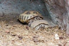 Schildkröten schleichen sich das Heu ein lizenzfreies stockfoto