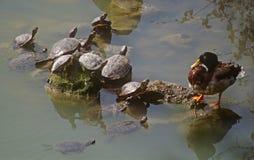 Schildkröten und Ente Stockfoto