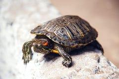Schildkrötenentweichen lizenzfreies stockfoto